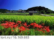 Купить «Japan, Kinki Region, Nara Prefecture, Asuka, View of Tachibana-dera Temple and cluster amaryllis flowers.», фото № 16169693, снято 26 мая 2019 г. (c) age Fotostock / Фотобанк Лори
