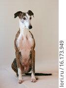 Купить «sitting Galgo Espanol», фото № 16173949, снято 26 марта 2008 г. (c) age Fotostock / Фотобанк Лори