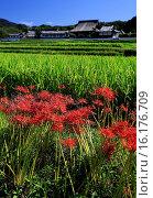 Купить «Japan, Kinki Region, Nara Prefecture, Asuka, View of Tachibana-dera Temple and cluster amaryllis flowers.», фото № 16176709, снято 26 мая 2019 г. (c) age Fotostock / Фотобанк Лори
