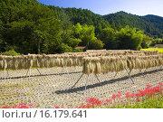 Купить «Paddy field and Cluster Amaryllis», фото № 16179641, снято 26 мая 2019 г. (c) age Fotostock / Фотобанк Лори