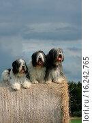 Купить «Polish Lowland Sheepdogs», фото № 16242765, снято 28 июля 2009 г. (c) age Fotostock / Фотобанк Лори