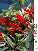 Купить «AESCHYNANTHUS RADICANS 'VARIEGATA'», фото № 16265225, снято 5 апреля 2012 г. (c) age Fotostock / Фотобанк Лори