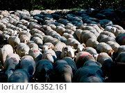 Купить «France - Cevennes - Esperou - Transhumance - Sheeps (ovis aries) Moutons», фото № 16352161, снято 13 июня 2009 г. (c) age Fotostock / Фотобанк Лори