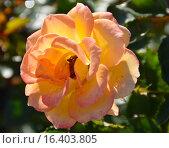 Купить «Роза патио Мериголд Свит Дрим (лат. Marigold Sweet Dream), Fryer 2010», эксклюзивное фото № 16403805, снято 1 августа 2015 г. (c) lana1501 / Фотобанк Лори