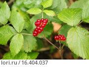Купить «Костяника (Rubus saxatilis)», эксклюзивное фото № 16404037, снято 16 августа 2015 г. (c) Самохвалов Артем / Фотобанк Лори