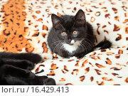 Купить «Маленький котенок сидит на пледе», эксклюзивное фото № 16429413, снято 17 декабря 2015 г. (c) Яна Королёва / Фотобанк Лори