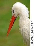 Купить «Storch im Portrait», фото № 16557617, снято 21 марта 2019 г. (c) easy Fotostock / Фотобанк Лори