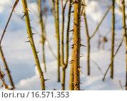 Купить «Острые шипы на стеблях зимой», фото № 16571353, снято 27 июня 2019 г. (c) Музыка Анна / Фотобанк Лори