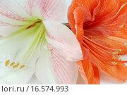 Купить «Two amaryllis», фото № 16574993, снято 19 ноября 2007 г. (c) easy Fotostock / Фотобанк Лори