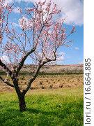 Almond flower trees field in spring season pink white flowers. Стоковое фото, фотограф Tono Balaguer / easy Fotostock / Фотобанк Лори