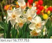 Купить «Dwarf daffodils Narcissus hybr and tulips Tulipa hybr», фото № 16777753, снято 20 ноября 2018 г. (c) easy Fotostock / Фотобанк Лори