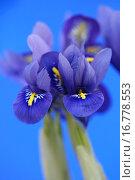 Купить «Iris Iris reticulata», фото № 16778553, снято 14 февраля 2006 г. (c) easy Fotostock / Фотобанк Лори