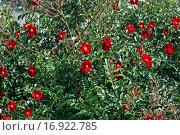 Купить «Куст цветущего шиповника», фото № 16922785, снято 16 мая 2010 г. (c) Татьяна Белова / Фотобанк Лори