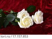 Белые розы на красном бархате. Стоковое фото, фотограф Оксана Якупова / Фотобанк Лори