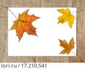 Купить «Рамка из мешковины и желтые листья клена на белом фоне», фото № 17210541, снято 3 октября 2015 г. (c) Алёшина Оксана / Фотобанк Лори