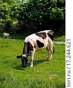 Купить «Cow», фото № 17244621, снято 25 марта 2019 г. (c) easy Fotostock / Фотобанк Лори