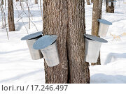 Купить «Metal pails for collecting maple sap», фото № 17246497, снято 19 сентября 2018 г. (c) easy Fotostock / Фотобанк Лори