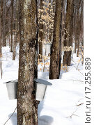 Купить «Spring forest during maple syrup season», фото № 17255889, снято 19 сентября 2018 г. (c) easy Fotostock / Фотобанк Лори