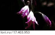 Купить «Розовый цветок в ботаническом саду», видеоролик № 17403953, снято 10 сентября 2015 г. (c) Потийко Сергей / Фотобанк Лори