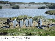Королевские пингвины на берегу залива Инутиль (2014 год). Стоковое фото, фотограф Free Wind / Фотобанк Лори