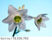 Купить «Amaryllis», фото № 18030793, снято 5 июня 2020 г. (c) easy Fotostock / Фотобанк Лори