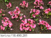 Купить «Растения бегонии вечноцветущей (Begonia semperflorens Link & Otto) высажены в почву», фото № 18490281, снято 24 июля 2015 г. (c) Ирина Борсученко / Фотобанк Лори