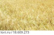 Купить «close-up view of wheat field in sunny day», видеоролик № 18609273, снято 15 октября 2015 г. (c) Яков Филимонов / Фотобанк Лори