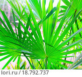 Купить «Chit Palm tree leaves in Yucatan rainforest mexico», фото № 18792737, снято 22 ноября 2019 г. (c) easy Fotostock / Фотобанк Лори