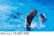 Черноморские дельфины - афалины. Стоковое фото, фотограф Александр Сосюра / Фотобанк Лори