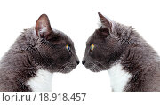 two grey cat. Copy space. Isolated on white background. Стоковое фото, фотограф Anna Kalaschnikow / easy Fotostock / Фотобанк Лори