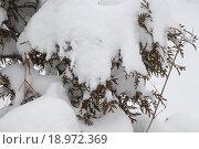 Ветви сосны под снегом. Стоковое фото, фотограф Сергей Блинов / Фотобанк Лори