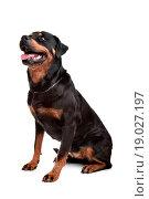 Rottweiler. Стоковое фото, фотограф Erik Lam / easy Fotostock / Фотобанк Лори