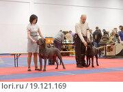 Выступление Кане Корсо на выставке собак, эксклюзивное фото № 19121169, снято 28 ноября 2015 г. (c) Константин Косов / Фотобанк Лори