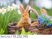Купить «red rabbits outdoor», фото № 19232765, снято 9 мая 2015 г. (c) Майя Крученкова / Фотобанк Лори