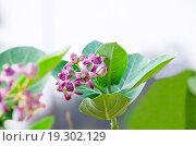 Тропический цветок фиолетовый с большими зелеными листьями. Стоковое фото, фотограф Наталья Богуцкая / Фотобанк Лори