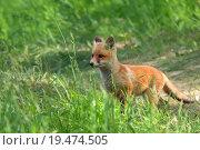 Купить «Fox in the wild », фото № 19474505, снято 22 июля 2018 г. (c) PantherMedia / Фотобанк Лори
