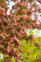 Ветви цветущей яблони, розового цвета, эксклюзивное фото № 19552133, снято 12 мая 2015 г. (c) Юрий Морозов / Фотобанк Лори