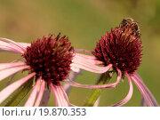 Купить «Narrow-leaf Coneflower - Echinacea angustifolia», фото № 19870353, снято 9 июля 2020 г. (c) easy Fotostock / Фотобанк Лори