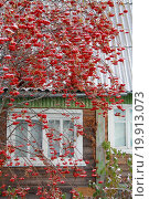 Рябина у дачного дома. Стоковое фото, фотограф Мельникова Надежда / Фотобанк Лори