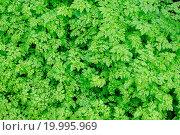 Купить «Background of fresh green spring leaves in dayligh», фото № 19995969, снято 23 марта 2019 г. (c) easy Fotostock / Фотобанк Лори