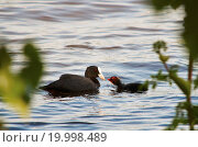 Coot Mother and Child. Стоковое фото, фотограф Zoonar/Nils Prause / easy Fotostock / Фотобанк Лори