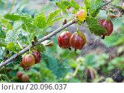 Ветка крыжовника в росе. Стоковое фото, фотограф Михеев Павел / Фотобанк Лори
