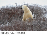 Купить «The polar bear has half-risen on hinder legs and smells air.», фото № 20149353, снято 15 ноября 2010 г. (c) easy Fotostock / Фотобанк Лори