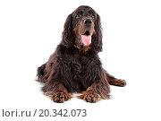 Купить «Irish Setter dog lying down and sticking out tongue, on a white background», фото № 20342073, снято 1 сентября 2010 г. (c) easy Fotostock / Фотобанк Лори