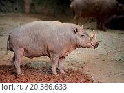 babirusa. Стоковое фото, фотограф leungchopan / easy Fotostock / Фотобанк Лори