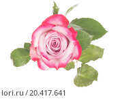 Нежная розовая роза на белом фоне. Стоковое фото, фотограф Ekaterina Andreeva / Фотобанк Лори