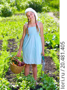 Купить «Vegetable garden - little gardener with a basket of organic carrots and beets», фото № 20481405, снято 9 июня 2013 г. (c) easy Fotostock / Фотобанк Лори
