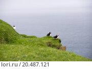Купить «Atlantic puffins, Fratercula arctica in its colony», фото № 20487121, снято 23 ноября 2019 г. (c) PantherMedia / Фотобанк Лори