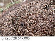Муравейник в весеннем лесу. Стоковое фото, фотограф Анна Сапрыкина / Фотобанк Лори