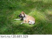 Собака на траве. Стоковое фото, фотограф Александр Лещинский / Фотобанк Лори